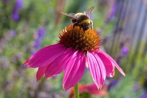 echinacea-1155017_640